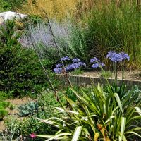 phormiums-and-agapanthus