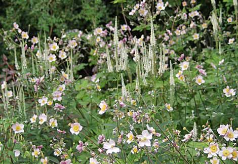 Anemone hybrida pale pink and Veronicastrum virginicum 'Album'
