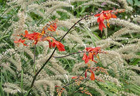 Crocosmia 'Lucifer' and Pennisetum orientale 'Tall Tails'