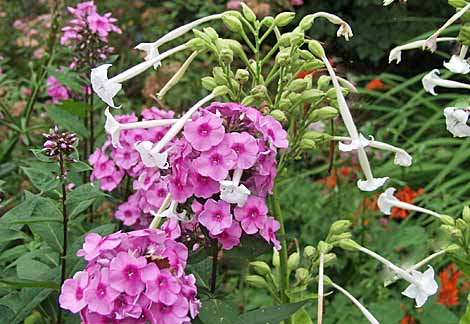 Phlox paniculate and Nicotiana sylvestris