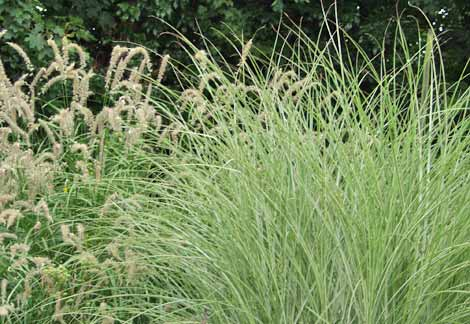 Pennisetum orientale 'Tall Tails and Miscanthus sinensis 'Morning Light'