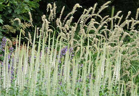 Veronicastrum virginicum 'Album' and Pennisetum orientale 'Tall Tails'