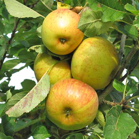 apples-sept-2007.jpg