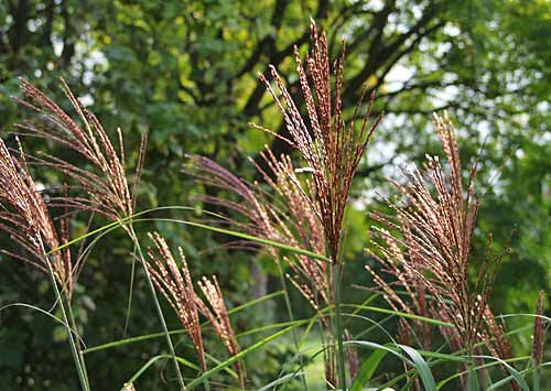 miscanthus-flowers-red-bron.jpg