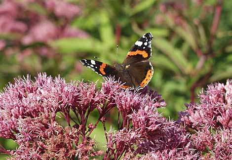 red-admiral-eupatorium.jpg