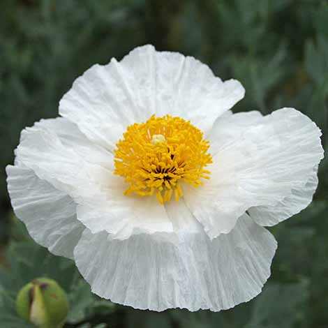 romneya-coulteri-sept-2007.jpg