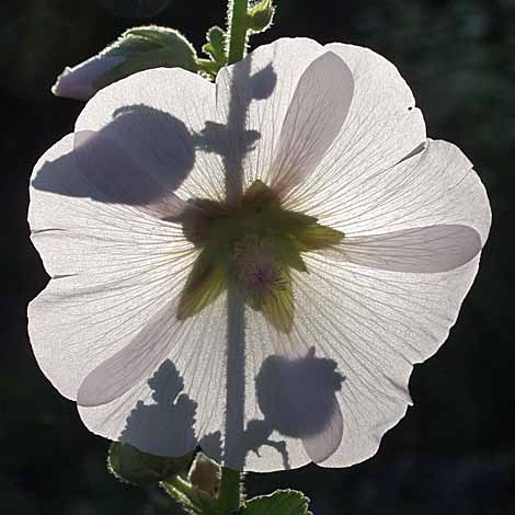 single-white-hollyhock.jpg